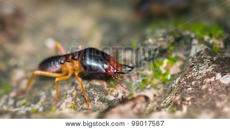 Extreme Closeup Of A Soldier Termite On A Rock