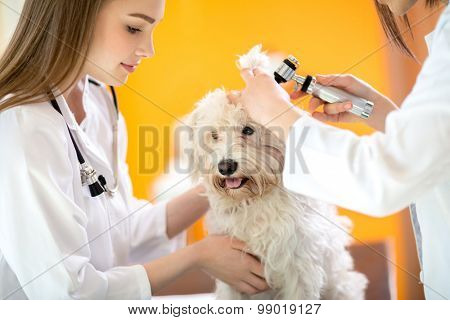 Ear examination of cute Maltese dog by veterinarians in vet clinic