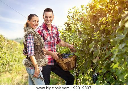 smiling young couple in vineyard row picking grape