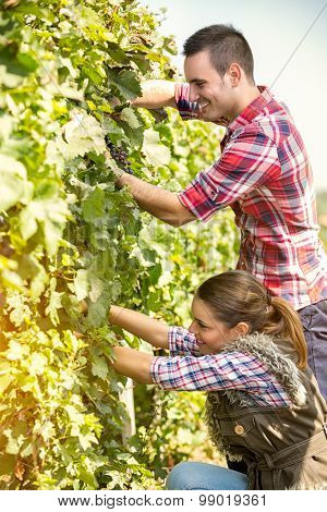 couple worker harvesting grapes in vineyard