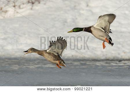 Pair of Landing Ducks