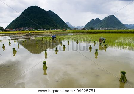 People working in the rice field for new season in Vietnam