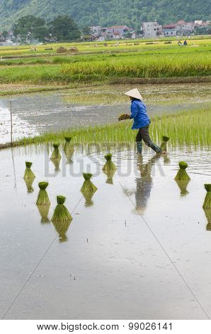 Farmer transplants rice in field in Vietnam