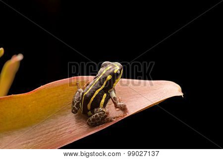 Yellow striped poison dart frog from Amazon rain forest in Peru. Ranitomeya flavovitata. Macro of a smal poisonous tropical animal