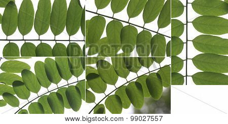 Original Size Of The Collected Locust Tree Leaves Macro Isolated On White Background