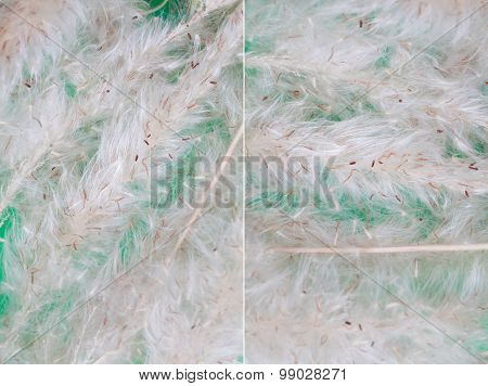 Seed Of A Horse's Tail Grass Background