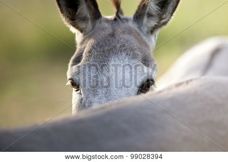 funny donkey looks over his friends back