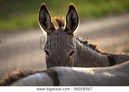 funny donkey hide behind his friend