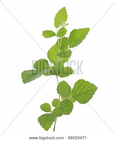 Collected Rubus Parvifolius L.isolated On White Background