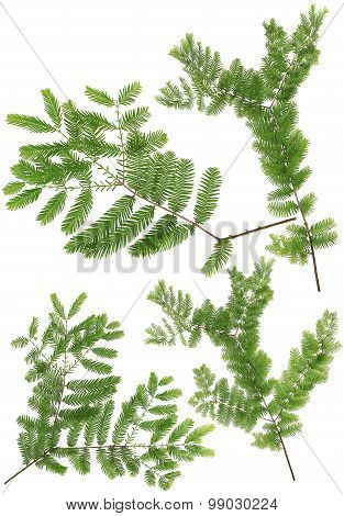 Collected Dawn Redwood Twig Leaves Of Macro Isolated On White Background