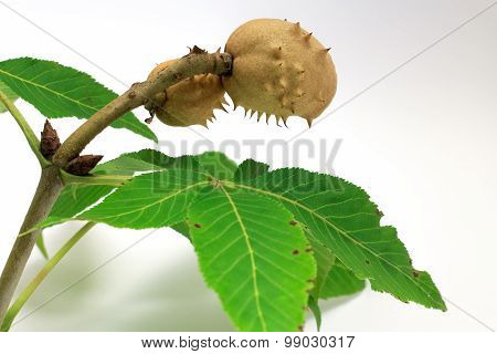 Chestnut Tree Branch