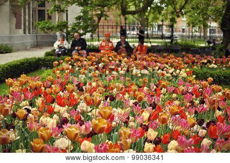 Amsterdam Garden Tulips