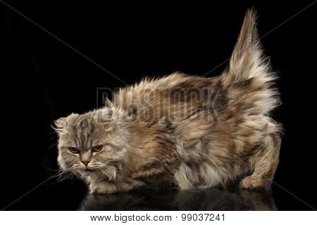 Highland Fold Cat With Short Tail On Black Mirror