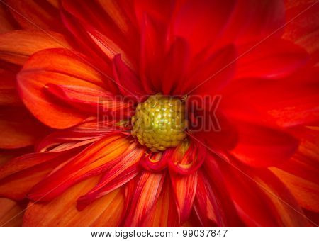 Dahlia Closeup