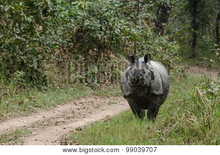 Male Rhino Live In Chitwan Nationnal Park , Nepal