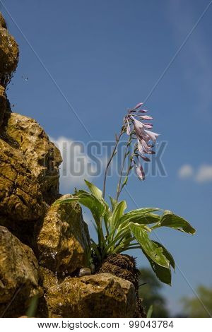 Hosta Plantaginea On A Rocky Well