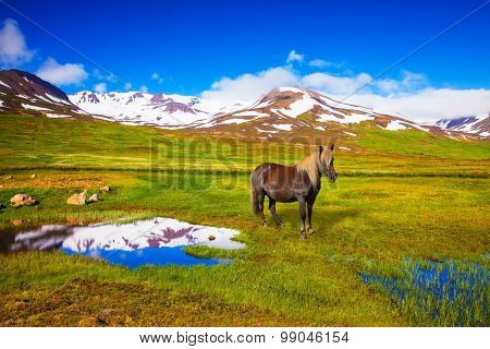 Summer Iceland. Small lake surrounded by green fields. Chestnut Icelandic horse grazing in the meadow