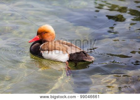 Male Red-crested Pochard