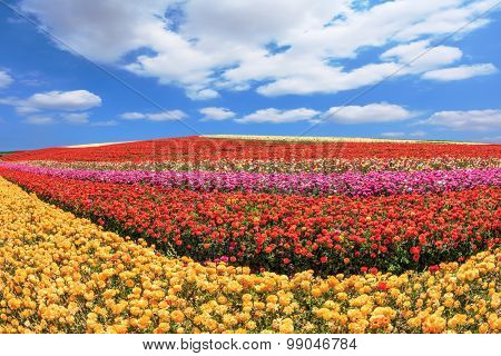 Sunny spring day in the south of Israel. Huge fields of red and yellow garden buttercups /ranunculus/  ripened for harvesting