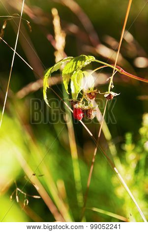Sprig With Berries Raspberries In Sunlight