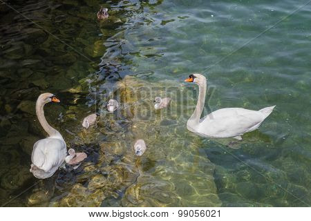 Family Of Swans In Lake