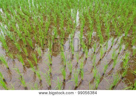 Thailand Green Rice