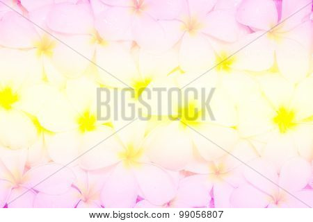 Multi Colored Various Plumeria Flovers