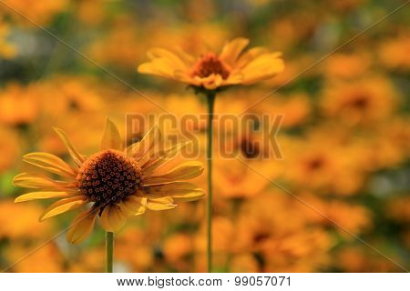 Beautiful color of daisies in meadow