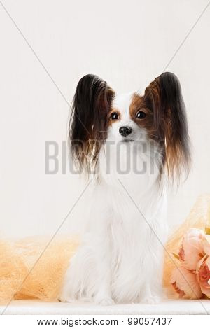 Beautiful  Continental Toy Spaniel Sitting On The White Background