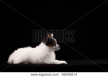 Portrait Papillon Puppy Age Of Four Months On A Black Background