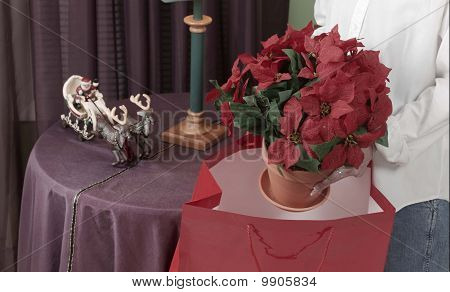 giving poinsettia plant