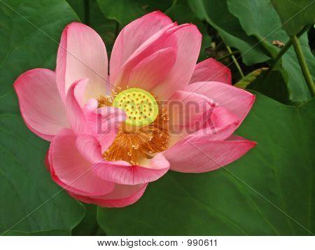 Soft Pink Lotus Flower Uenotokyo