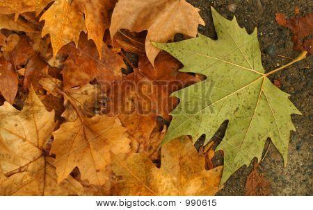 Eine grüne Herbstblatt W/gelbes Blatt
