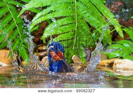Blue-eared Kingfisher - Male