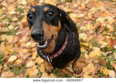 Dachshund Autumn