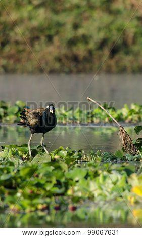 Coot Is Water Bird