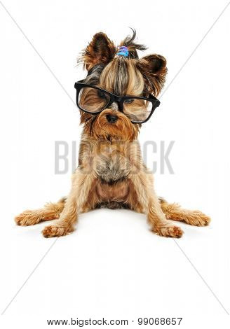 yorkshire terrier  in the glass isolated on white
