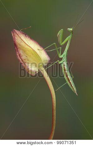 Mantis On Morning Glory