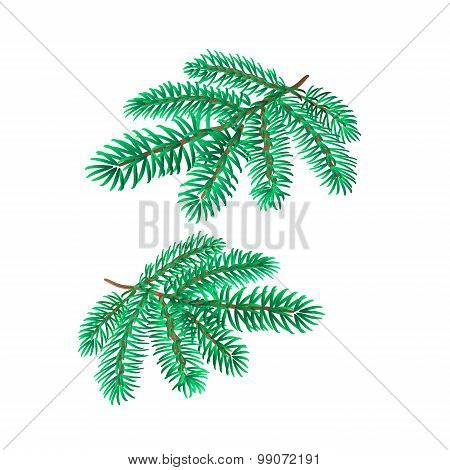 Branches Silver Spruce Vector