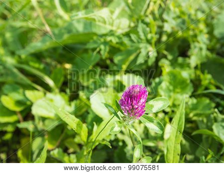 In The Wild Flowering Red Clover Plant From Close