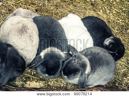 group of the lop- eared rabbits, above