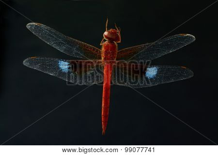Red Dragonfly Isolate On Black Background