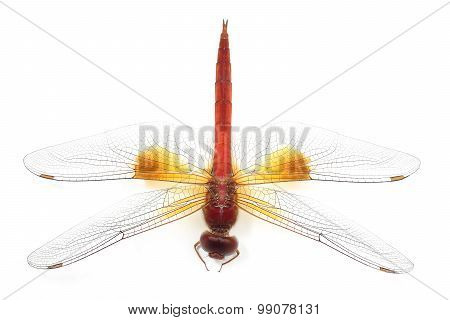 Beautiful Dragonfly Isolate On White Background (insect)