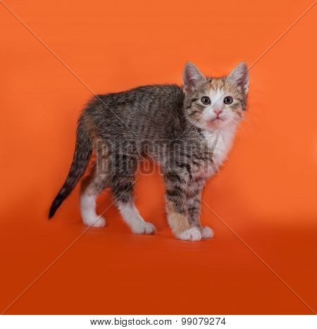 Tricolor Striped Kitten Standing On Orange