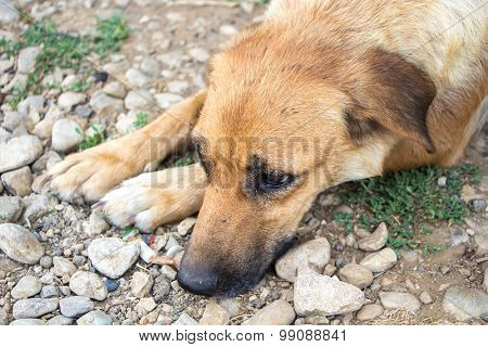 Image of the red-haired stray dog
