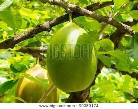 Crescentia Cujete Tree.