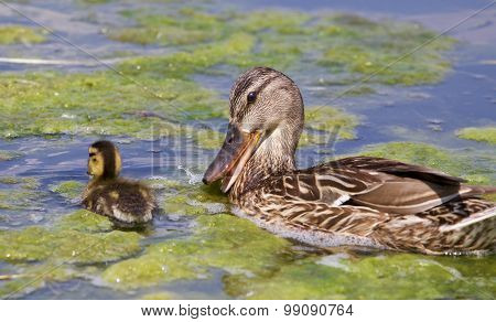 Funny Mother-duck And Her Chick