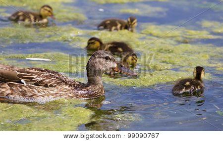 Beautiful Mallard And Her Chicks