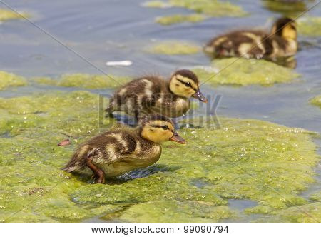 Funny Cute Chicks Of The Mallards
