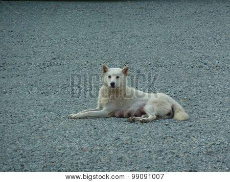 Dog, White